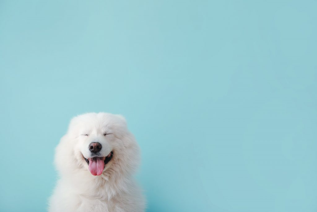 White dog on blue background
